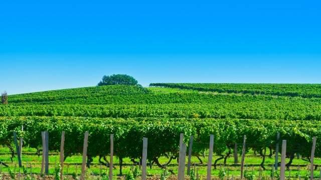 vignes girondines